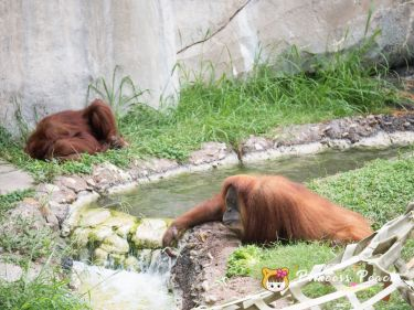 Fort Worth Zoo Orangutans