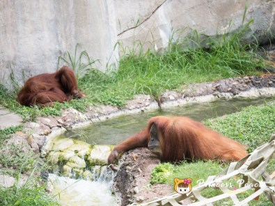 Fort Worth Zoo Orangutans