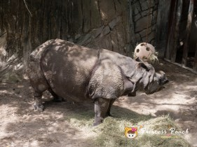 Fort Worth Zoo Greater One-Horned Rhinos 獨角犀牛