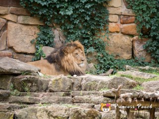 Fort Worth Zoo African Lions 獅子