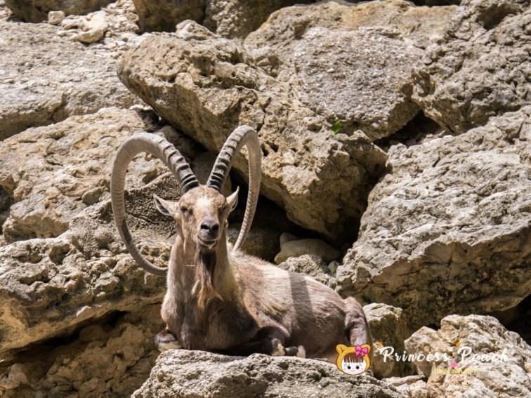 Nubian Ibex 山羊