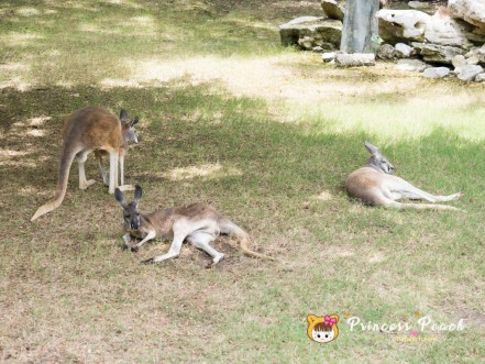 Fort Worth Zoo Red Kangaroos 袋鼠