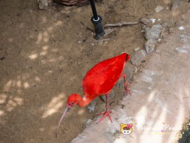 Fort Worth Zoo Scarlet Ibis 朱鷺