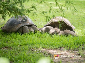 Fort Worth Zoo Aldabra Tortoise 陸龜