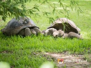 Fort Worth Zoo Aldabra Tortoise 陸龜