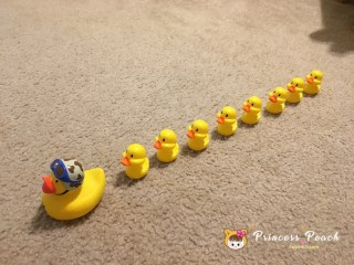 讓路給小鴨子