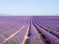 南法薰衣草