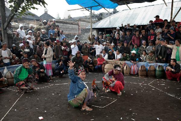 Bali-chicken-fight