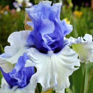 Iris by Colour