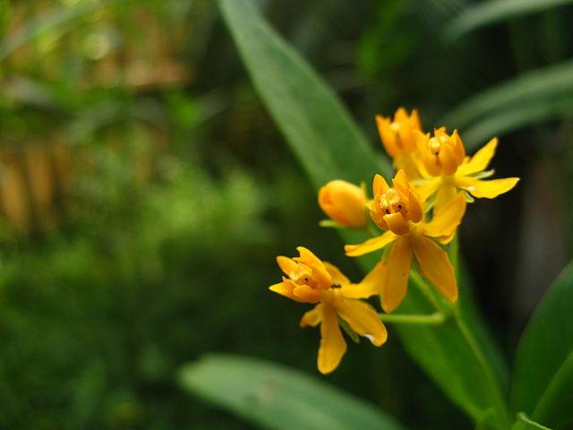 Ascelapius tuberosa
