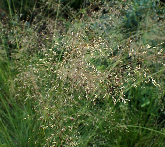 Prairie_Dropseed_Sporobolus_heterolepis_