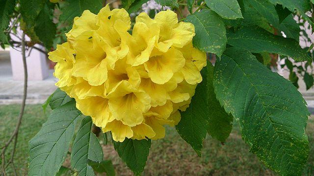 Yellow_trumpetbush_(Tecoma_stans)_2