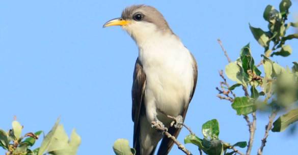 Yellow-billed-Cuckoo1