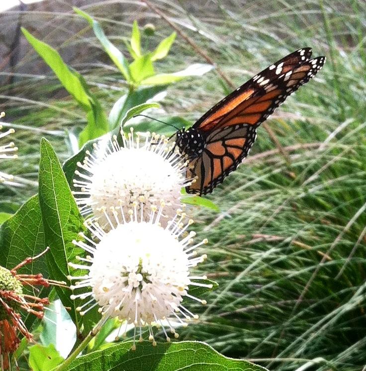 Area Butterflies   Alamo Area Chapter