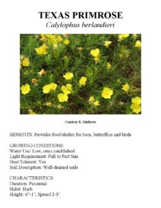 Information about Texas primrose