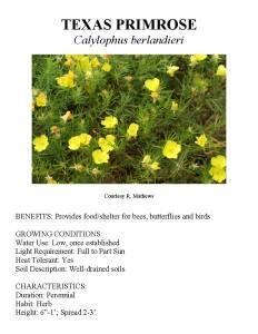 Information about Texas primrose
