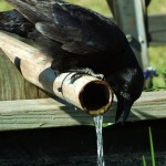 An American Crow checks out the water supply photo: Chuck Duplant