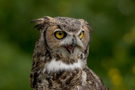 Great Horned Owl - Close Up Photo