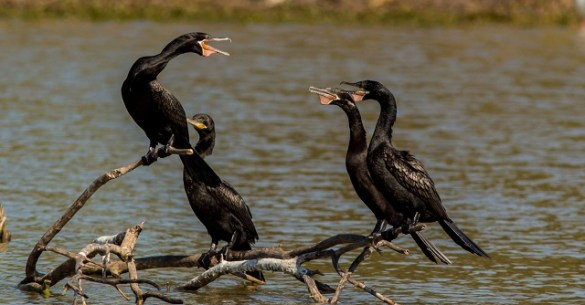 Cormorants2 at SCNP-12-15-Amber Leung