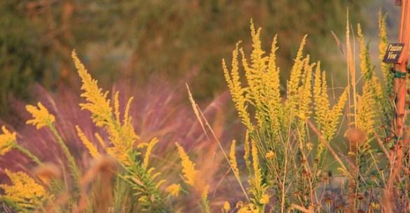 Demo Garden Golden Rod-gulf Muhly2014-Mark M