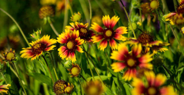 Indian Blanket at SeabourneD-John Donaho