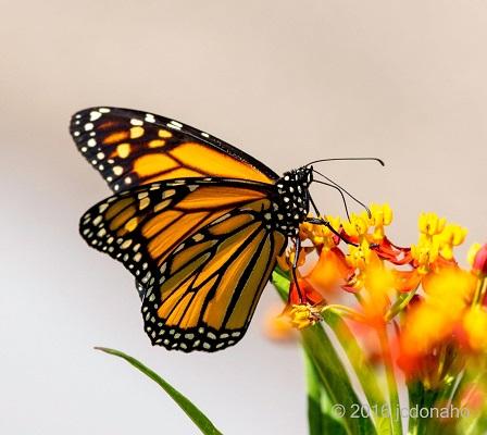 Monarch Butterfly-JDonaho
