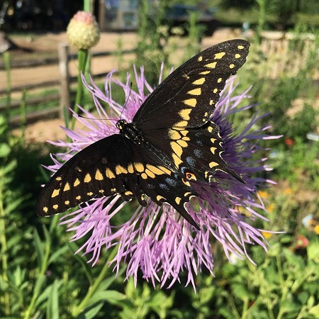 Swallowtail on basketflower-JHems