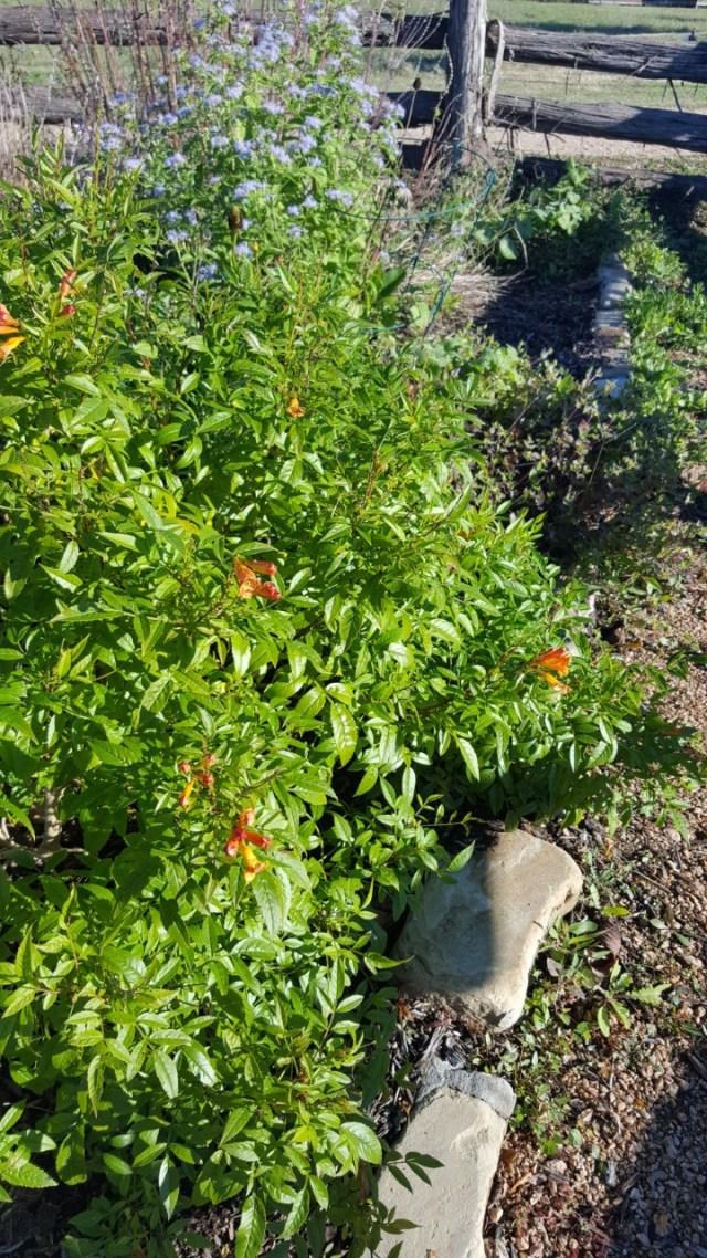 Seabourne Butterfly Garden Orange Flowered Yellow Bells Kimberly Farou Nov 3 2018
