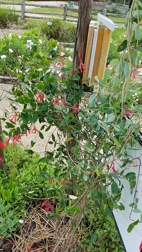 honeysuckle hummingbird garden2 2019
