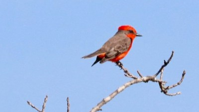 Bird-Vermillion Flycatcher