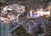Cottontail rabbit in Texas
