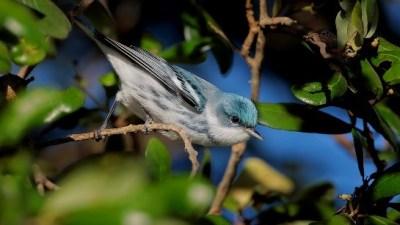Cerulean Warbler by Greg Lavaty