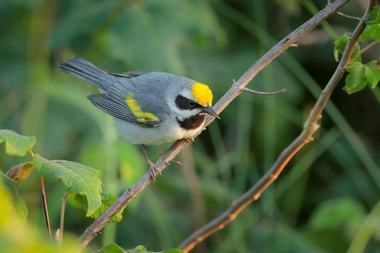 golden winged warbler by Greg Lavaty
