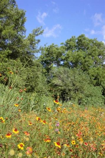Pocket prairie in full bloom