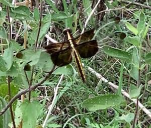 Widow Skimmer dragonfly - Carol Hawkins