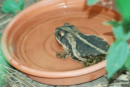 Gulf coast frog sits in water