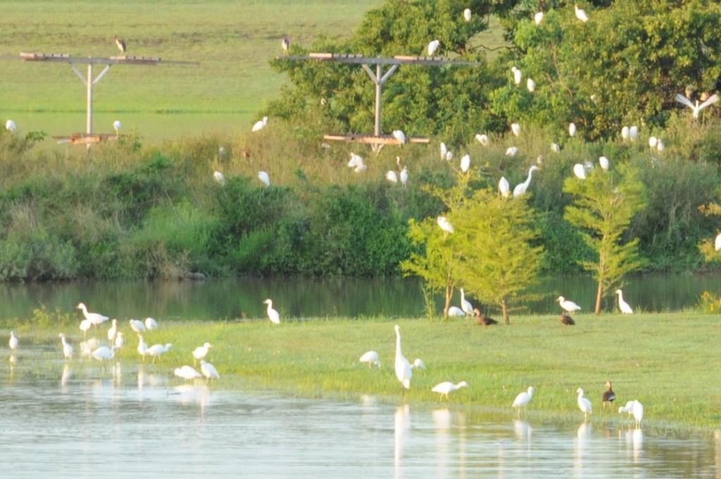Birds roosting near nesting platforms, JohnHargrove Environmental Complex