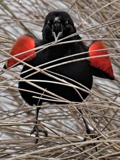 Redwing-blackbird in marsh