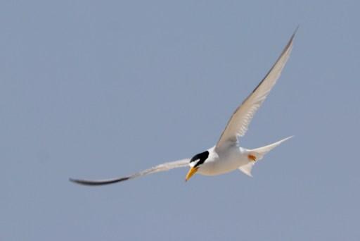 Least Tern flying