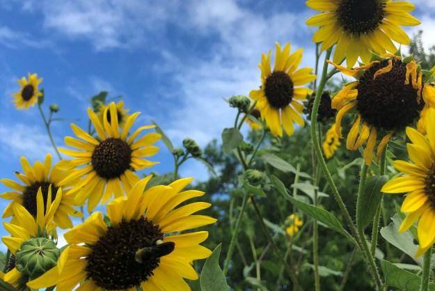 """Sunflower and Sunshine"" by TMNCPC member Linda Mueller"