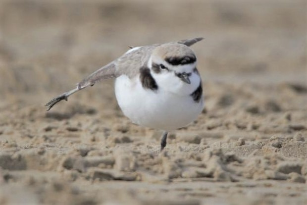 Snowy plover stretching