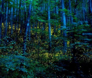 Fireflies in Great Smokies. Photo by Katrien Vermeire from firefly.org