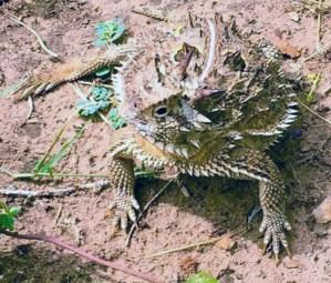 Horned Lizard on Barnhart Q5 ranch