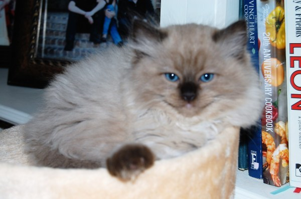 Cat Ragdoll Kittens For Adoption In Texas - Year of Clean Water