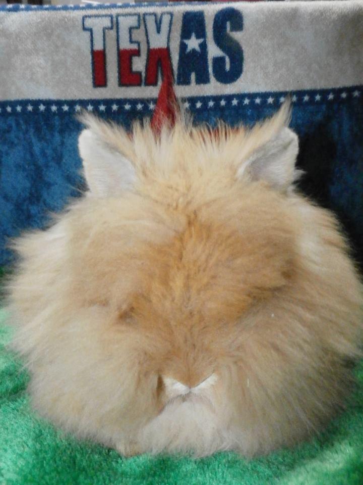 Miniature Bunnies For Sale : miniature, bunnies, Bunnies