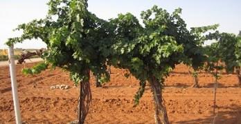 Newsom Vineyards - Cabernet