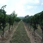 Free Vineyard Tours at Perissos Vineyard and Winery
