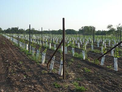 William-Chris event - vineyard