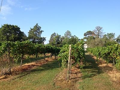 Paradox - vineyard