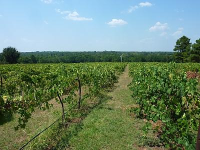 Kiepersol - vineyard